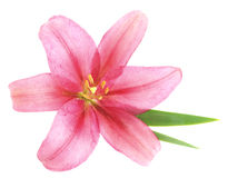 Pink lily. Royalty Free Stock Photography