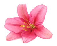 Pink lily. Royalty Free Stock Images