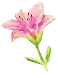 Pink lily with leaves Stock Photos