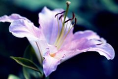 Pink lily in light blur. Beauty delicate pink lily in light blur for good mood stock image