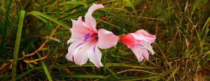 Stunning pink flower in grass. Pink lily-like  flower with magenta stripes and purple markings Motacilla capenis inbetween green grass Stock Photos