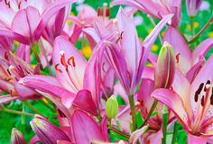 Pink lily (Lilium) flower Stock Photography