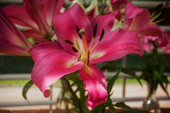 Pink lily with long petals, green heart and stamens. Close-up on the background of the garden Stock Photo