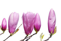 Pink Lily Magnolia buds in spring. Pink blossoms on a hybrid Lily Magnolia tree stock photo