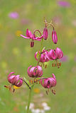 Pink lily of mountain (lilium martagon). Showy wild flower of alpine meadows(family liliaceae Royalty Free Stock Photos