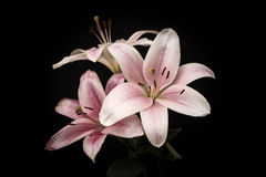 Pink Lily. A pink oriental lily set against a black background. Latin name is oriental lilium Royalty Free Stock Photo