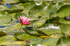 Pink Lily Pad Flower. A beautiful, pink lily pad flower jets out of the water Royalty Free Stock Images