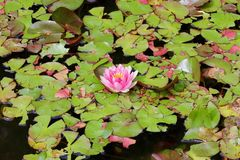 Pink lily pad flower surrounded by lily pads background texture macro Stock Image