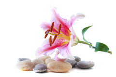 Pink lily and pebble Royalty Free Stock Photo
