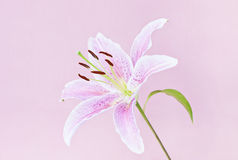 Pink lily on pink. Pink lily flower on pink stock image