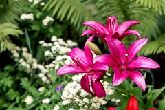 Pink lily, plants in the botanical garden,. Liliaceae royalty free stock photo