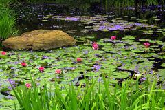 Pink Lily Pond Stock Photography