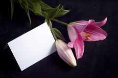 Pink lily and postcard. Pink flower isolated on the black background royalty free stock photo
