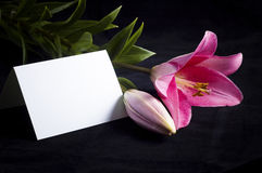Pink lily and postcard. Pink flower isolated on the black background royalty free stock photos