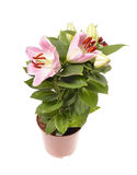 Pink lily potted Stock Photography