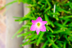 Pink lily rain lily flower Royalty Free Stock Photography