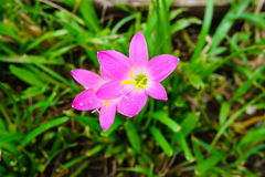 Pink lily rain lily flower. Pink zephyranthes lily flower rain lily flower Royalty Free Stock Photo