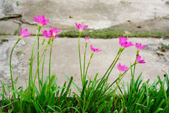 Pink lily rain lily flower Stock Photo