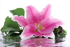 Pink lily with reflection Royalty Free Stock Photography