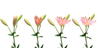 Pink Lily Time-lapse. Time-lapse series of a single pink lily opening Royalty Free Stock Image
