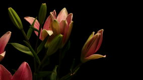 Pink Lily Timelapse Royalty Free Stock Photography