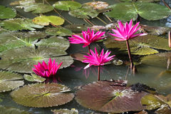 Pink lily water Royalty Free Stock Photo