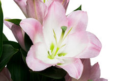 Pink lily on white Royalty Free Stock Photography