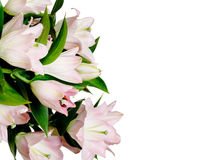 Pink lily on white Royalty Free Stock Image
