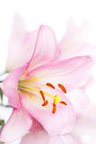 Pink Lily on white Royalty Free Stock Photos