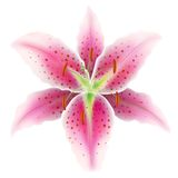 Pink lily on a white background Stock Images