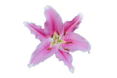 Pink lily on white. Background with clipping path Stock Images