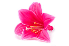 Pink Lily on white background Royalty Free Stock Photography
