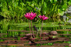 Pink Lilypad Flowers Royalty Free Stock Photography