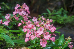 The Pink-Lipped Habenaria (Pink Snap Dragon Flower) found in tro Royalty Free Stock Images