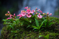 The Pink-Lipped Habenaria (Pink Snap Dragon Flower) found in tro Stock Photos