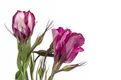 Pink Lisianthus flower on a white Royalty Free Stock Images