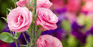 Pink lisianthus flowers Royalty Free Stock Photo