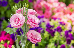 Pink lisianthus flowers Stock Photos