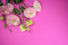 Pink Lisianthus flowers. Delicate and beautiful pink Lisianthus flowers on pink background with copy space Stock Photo