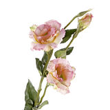 Pink lisiantus (eustoma) flower isolated on white Stock Photos
