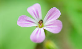 Pink little flower blooming Royalty Free Stock Photography