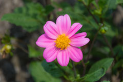 Pink little flower. In a garden Royalty Free Stock Photos