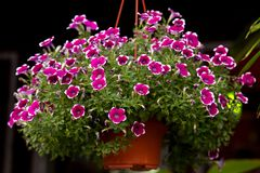 The pink little flower in hanging flower pot royalty free stock images