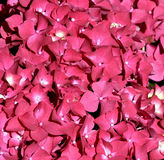 Pink little flowers. Royalty Free Stock Photography