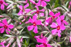 Pink little flowers closeup grows in an outdoor garden. Close-up royalty free stock images
