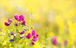 Pink Little Flowers On The Field Royalty Free Stock Images