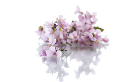 Pink little spring forget-me-nots Stock Image