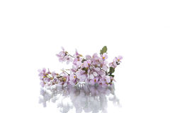Pink little spring forget-me-nots Stock Photography