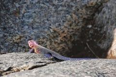 Pink lizard Stock Photos