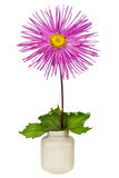 Pink lonely Aster Royalty Free Stock Photo
